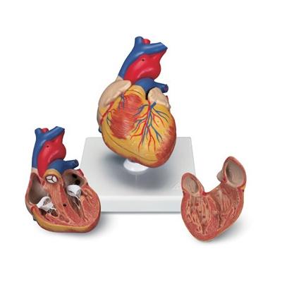 Hart en omloop