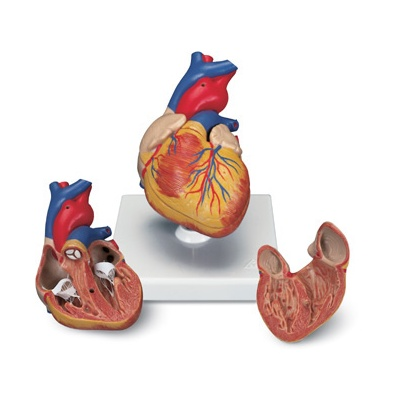 Cœur et circulation