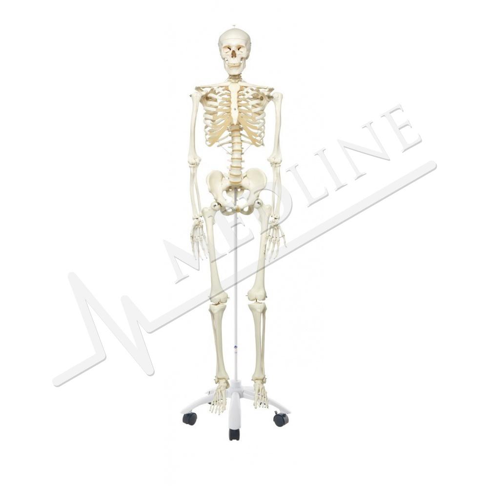 Medline | Menschliches Skelett Modell Stan, auf Becken montiert, 5 ...